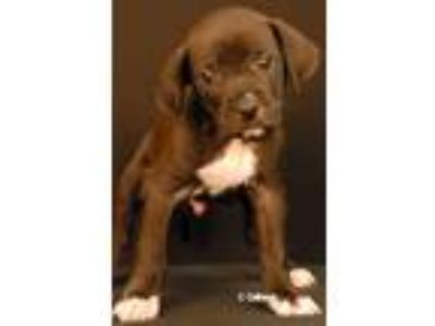 Adopt Vector a Labrador Retriever, Terrier