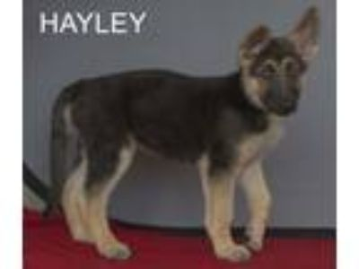 Adopt Hayley a German Shepherd Dog