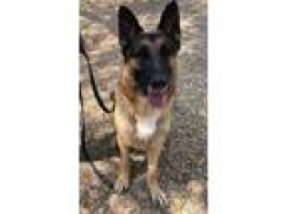 Adopt Magnum a German Shepherd Dog