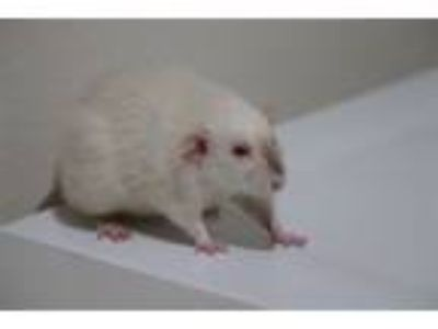 Adopt Roomba a Rat small animal in Oceanside, CA (25488161)