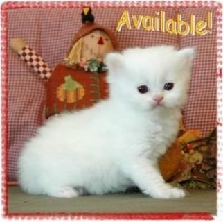 A lovely female persian kitten ...