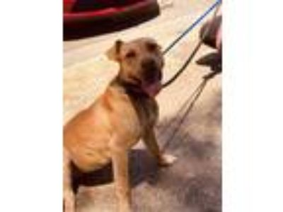 Adopt Penelope a Tan/Yellow/Fawn Shepherd (Unknown Type) / Boxer / Mixed dog in