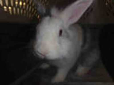 Adopt ROGER a Tri-color Other/Unknown / Mixed rabbit in Van Nuys, CA (25778014)
