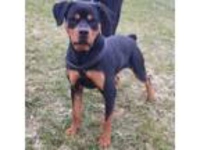 Adopt Rocky a Black Rottweiler / Mixed dog in Racine, WI (23858414)
