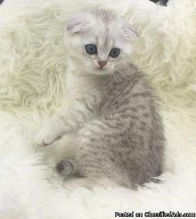 nfchdrt Adorable sweet Scottish fold kittens for sale