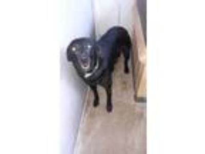Adopt Beefcake a Black Labrador Retriever / Mixed dog in Ottumwa, IA (25330969)