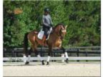 Seriously Talented Buckskin Lusitano for FEI Dressage