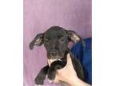 Adopt Watermelon a Boxer, Labrador Retriever