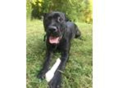 Adopt Luna a Black Labrador Retriever / American Pit Bull Terrier / Mixed dog in