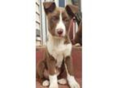 Adopt Ophelia a Brown/Chocolate Border Collie / Labrador Retriever dog in