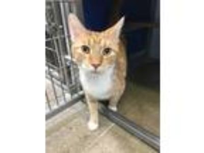 Adopt Winnie a Domestic Shorthair / Mixed cat in Indiana, PA (22897545)