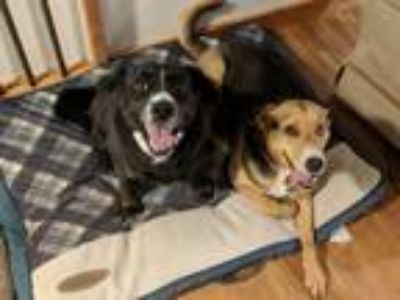 Adopt Molly a Tricolor (Tan/Brown & Black & White) Beagle / Collie / Mixed dog