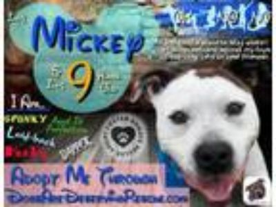 Adopt Mickey (Capone) a Pit Bull Terrier