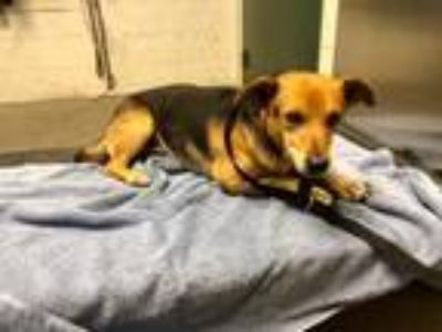 Adopt *Jack a Tan/Yellow/Fawn - with Black Beagle / Dachshund / Mixed dog in
