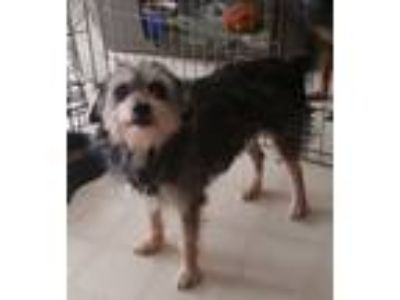 Adopt Smidgen a Glen of Imaal Terrier