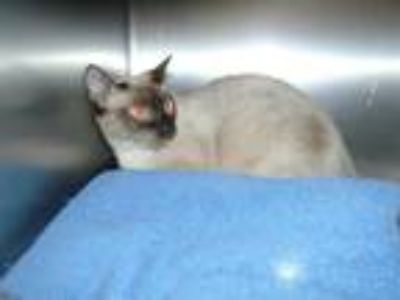 Adopt Cat a Brown or Chocolate Siamese / Mixed (short coat) cat in Thousand