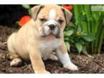 Sam - English Bulldog Male