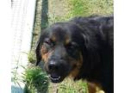 Adopt Thor a Black Rottweiler / Mixed dog in SMITHFIELD, NC (25883972)