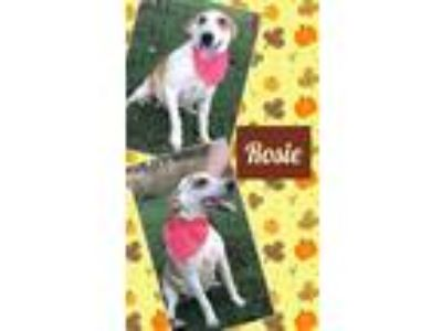 Adopt Rosie a Red/Golden/Orange/Chestnut - with White Labrador Retriever / Hound