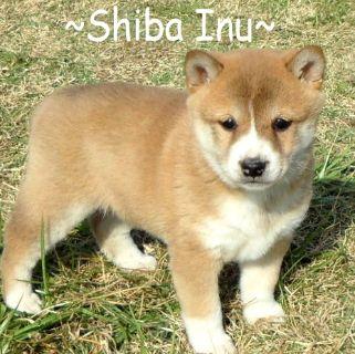 Shiba Inu PUPPY FOR SALE ADN-100019 - AKC SHIBA INU PUPPIES