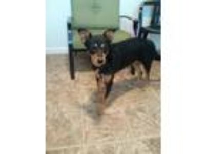 Adopt Maxine a Black - with Brown, Red, Golden, Orange or Chestnut Rat Terrier /
