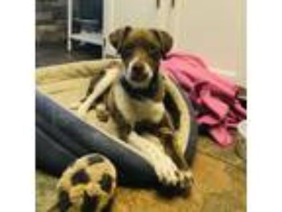 Adopt Pokie a Brown/Chocolate Hound (Unknown Type) dog in Knoxville