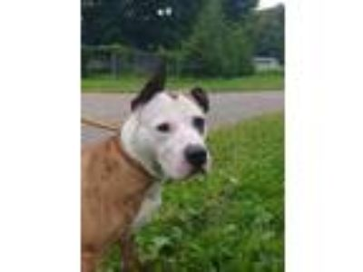 Adopt Zues a Brindle - with White American Pit Bull Terrier / Mixed dog in