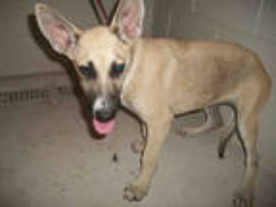 Adopt JELLY a Tan/Yellow/Fawn - with White German Shepherd Dog / Mixed dog in
