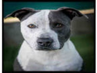 Adopt ROCCO a White - with Gray or Silver American Pit Bull Terrier / Mixed dog
