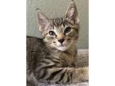 Adopt Lorkin a Brown or Chocolate Domestic Shorthair / Mixed (short coat) cat in