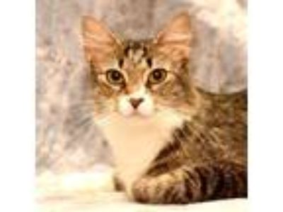 Adopt Lady (aka Solobina) a Brown Tabby Domestic Shorthair / Mixed cat in
