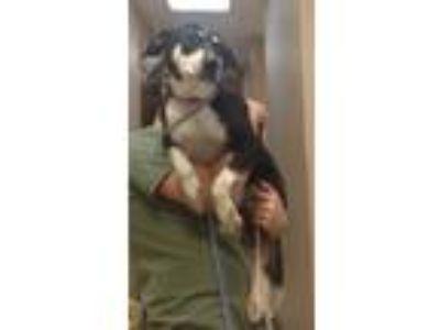 Adopt Buster a Husky, Labrador Retriever