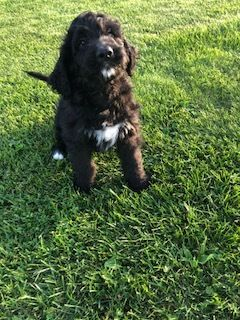 Bernedoodle PUPPY FOR SALE ADN-95585 - Bernedoodle puppies