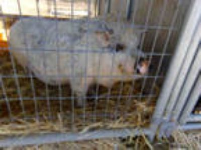 Adopt *TOODLES a Pig (Farm) / Mixed farm-type animal in Norco, CA (25166349)