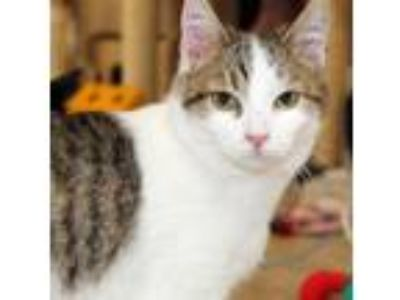 Adopt Kris Kringle a Domestic Short Hair