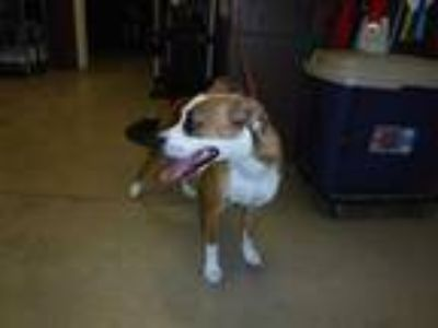 Adopt BETH a Tan/Yellow/Fawn - with White Boxer / Beagle / Mixed dog in Sanford