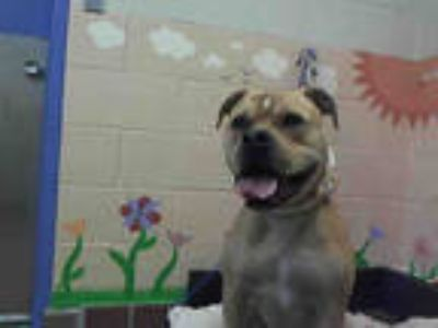 Adopt ZUMA a Tan/Yellow/Fawn American Pit Bull Terrier / Mixed dog in Castaic