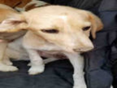 Adopt a Brown/Chocolate - with White Brittany / Mixed dog in Texas City