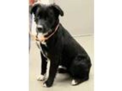 Adopt Dreamer a Black Retriever (Unknown Type) / Border Collie / Mixed dog in