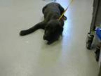 Adopt a Black Labrador Retriever / American Pit Bull Terrier / Mixed dog in