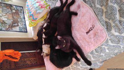 Melanestic Bengal Kittens for sale