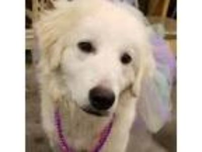 Adopt Gracie Ann a White Great Pyrenees / Mixed dog in Statewide, TX (25340149)
