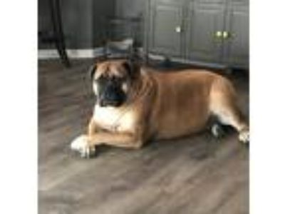 Adopt Bella a Red/Golden/Orange/Chestnut Bullmastiff / Mixed dog in Fishers