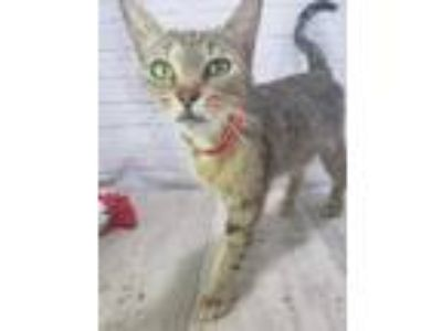 Adopt Ms. Cat Cat a Brown or Chocolate Domestic Shorthair / Domestic Shorthair /