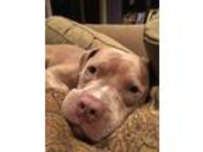 Adopt Kyzer a Pit Bull Terrier