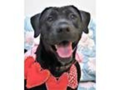 Adopt SHARON a Labrador Retriever