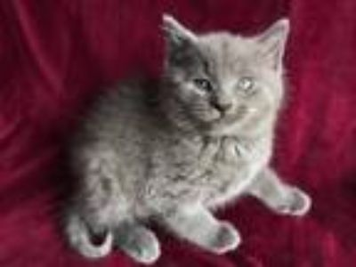 Adopt Lukas a Gray or Blue Domestic Longhair (long coat) cat in Chicago