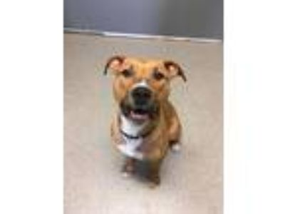 Adopt Kelly a Labrador Retriever, Terrier