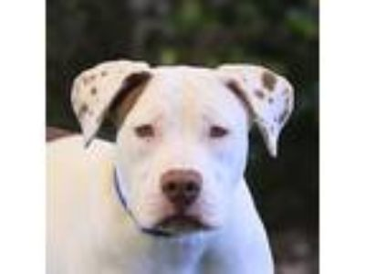Adopt Bonnie a American Pit Bull Terrier / Pointer / Mixed dog in San Diego