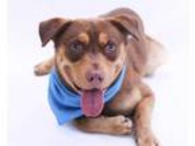 Adopt LUKE a Brown/Chocolate - with Tan Husky / Labrador Retriever / Mixed dog